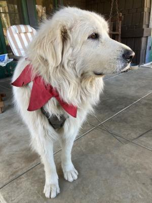 White dog with holiday collar photo